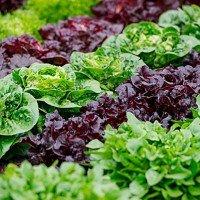 Марули и салати