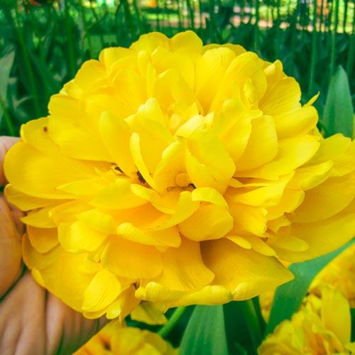 Луковици лале Yellow Pomponette
