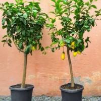 Плодни дръвчета