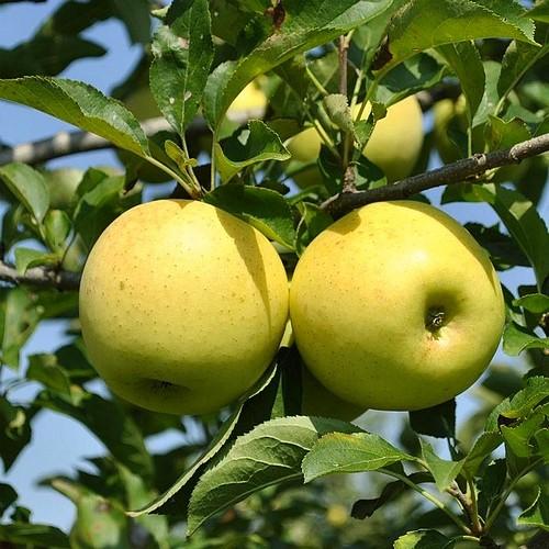 Ябълка Муцу