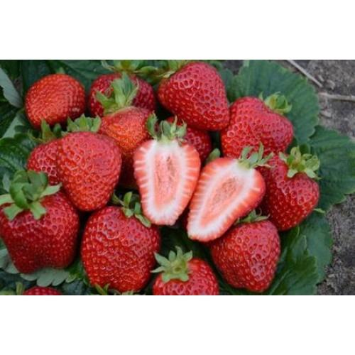 Разсад за ягоди Сан Андреас